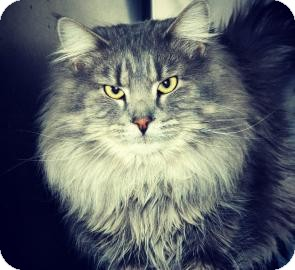 Maine Coon Cat for adoption in Cheyenne, Wyoming - Majestic