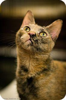 Domestic Shorthair Cat for adoption in Brooklyn, New York - Tigger