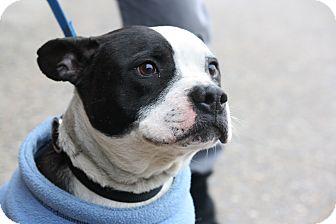 American Bulldog Mix Dog for adoption in North Wales, Pennsylvania - Panda