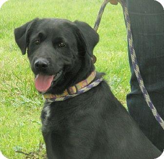 Labrador Retriever Dog for adoption in Turlock, California - Bailey
