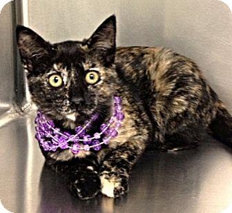 Domestic Shorthair Kitten for adoption in Dublin, California - Hattie
