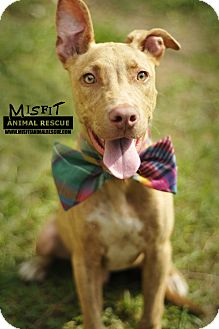 Pit Bull Terrier/Pit Bull Terrier Mix Puppy for adoption in Groveland, Florida - Dunee (6 mo.)