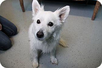Eskimo Spitz Mix Dog for adoption in Hibbing, Minnesota - Anne