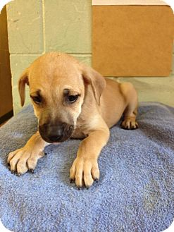 Black Mouth Cur/Hound (Unknown Type) Mix Puppy for adoption in River Falls, Wisconsin - Trouble