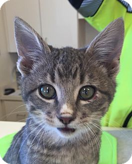 Domestic Shorthair Kitten for adoption in Mansfield, Texas - Murphy