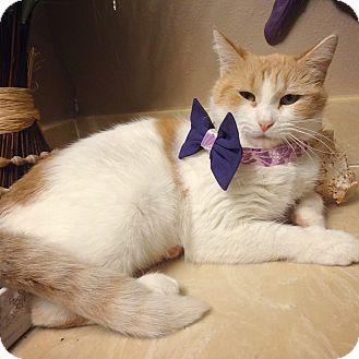 Domestic Shorthair Cat for adoption in Bentonville, Arkansas - Emily