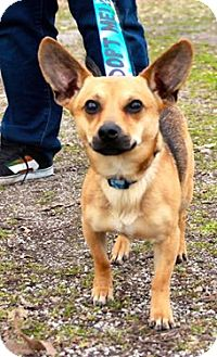 Chihuahua/Dachshund Mix Dog for adoption in Jerseyville, Illinois - Gary