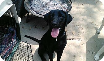 Labrador Retriever Mix Puppy for adoption in Austin, Texas - Rascal