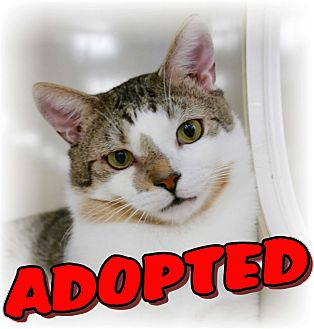 Domestic Shorthair Cat for adoption in Commack, New York - Biscuit