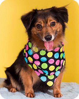 Sheltie, Shetland Sheepdog/German Shepherd Dog Mix Dog for adoption in Union Grove, Wisconsin - Missy - PENDING!!!