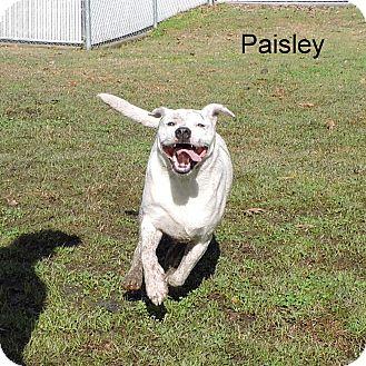American Bulldog Dog for adoption in Slidell, Louisiana - Paisley