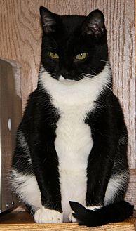 Domestic Shorthair Cat for adoption in Lovingston, Virginia - Brutus