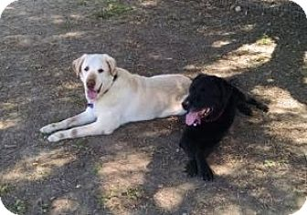 Labrador Retriever Dog for adoption in San Francisco, California - Chopper