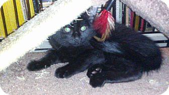 Domestic Mediumhair Kitten for adoption in Alamo, California - Dexter