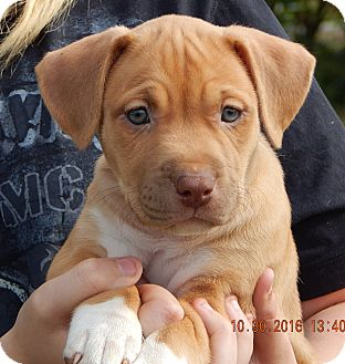 Labrador Retriever/Terrier (Unknown Type, Medium) Mix Puppy for adoption in Niagara Falls, New York - Sunny(7 lb) Green Eyes!