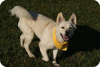 Samoyed/Husky Mix Dog for adoption in Urbana, Ohio - Cotton Beatty