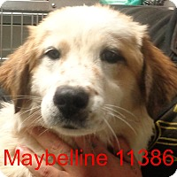 Adopt A Pet :: Maybelline - Greencastle, NC