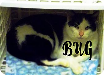 Domestic Shorthair Cat for adoption in Defiance, Ohio - Bug