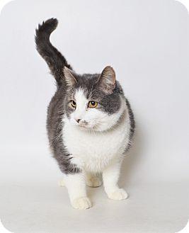 Domestic Shorthair Cat for adoption in Fruit Heights, Utah - Milkshake