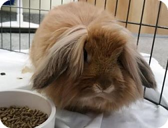 Lionhead Mix for adoption in Lowell, Massachusetts - Chewbacca