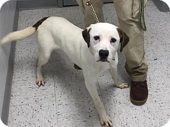 Labrador Retriever/Dalmatian Mix Dog for adoption in Humble, Texas - Roscoe
