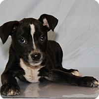 Adopt A Pet :: Cassy - Waldorf, MD