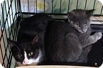 American Shorthair Kitten for adoption in Brooklyn, New York - Ace&Deuce - Jackson&Priscilla