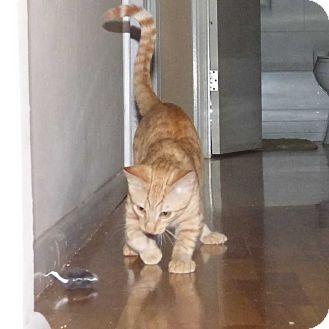 Domestic Shorthair Kitten for adoption in Bellingham, Washington - Nile