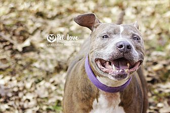 American Staffordshire Terrier/American Pit Bull Terrier Mix Dog for adoption in Cincinnati, Ohio - Brooklyn- $20 Reduced Fee
