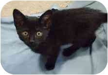 Domestic Mediumhair Kitten for adoption in Walker, Michigan - Sarah