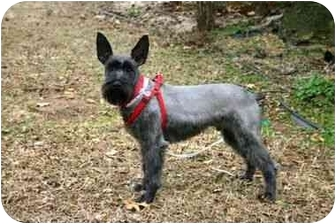 Schnauzer (Miniature) Mix Dog for adoption in Muldrow, Oklahoma - Eliott