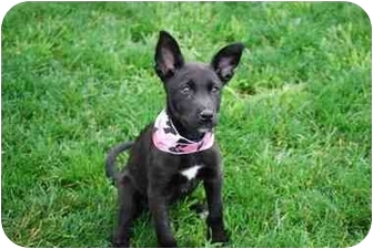 Terrier (Unknown Type, Small)/Labrador Retriever Mix Puppy for adoption in Broomfield, Colorado - POOH