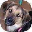 Sheltie, Shetland Sheepdog/Terrier (Unknown Type, Small) Mix Dog for adoption in Hamilton, Ontario - Ginger