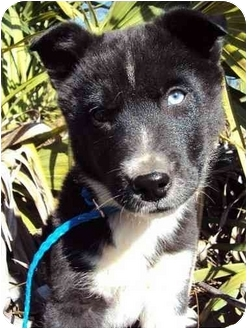 Australian Cattle Dog/Border Collie Mix Puppy for adoption in Daisy, Georgia - Buddy 2