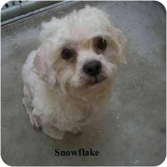 Poodle (Miniature) Mix Dog for adoption in Slidell, Louisiana - Snow
