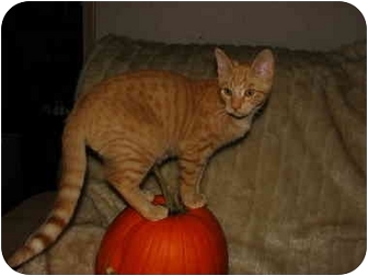 Domestic Shorthair Kitten for adoption in Norwich, New York - Joey