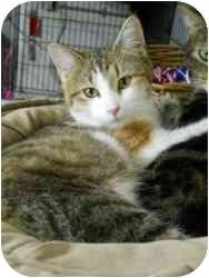 American Shorthair Cat for adoption in Jefferson, Iowa - California