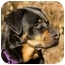 Photo 1 - Rottweiler Dog for adoption in Seattle c/o Kingston 98346/ Washington State, Washington - Miles