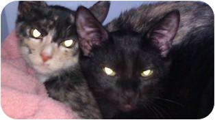 Domestic Shorthair Cat for adoption in Houston, Texas - Melinda