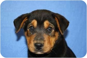 Shepherd (Unknown Type)/Rottweiler Mix Puppy for adoption in Broomfield, Colorado - Bowser