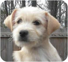 Terrier (Unknown Type, Small)/Labradoodle Mix Puppy for adoption in Westport, Connecticut - *Macie - PENDING