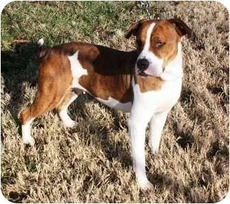 Boxer Mix Dog for adoption in Yuba City, California - Princess
