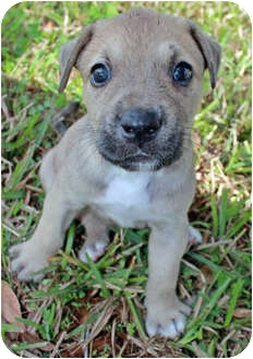 American Pit Bull Terrier Mix Puppy for adoption in Orlando, Florida - Zeus