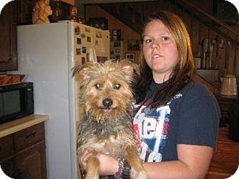 Yorkie, Yorkshire Terrier/Schnauzer (Miniature) Mix Dog for adoption in Allentown, Pennsylvania - Sam