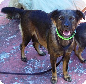 Labrador Retriever/Shepherd (Unknown Type) Mix Dog for adoption in Hollywood, Florida - Linda