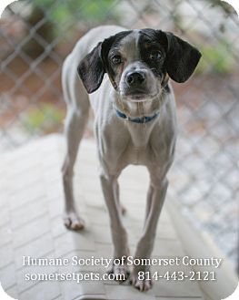 Terrier (Unknown Type, Small) Mix Dog for adoption in Somerset, Pennsylvania - Maximus