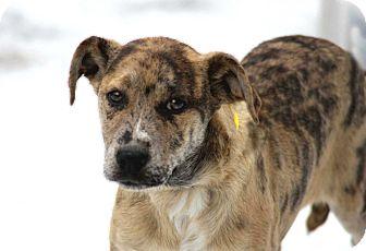 Hound (Unknown Type)/Labrador Retriever Mix Puppy for adoption in Salem, New Hampshire - PUPPY MIAMI