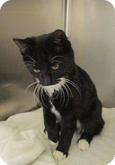 Japanese Bobtail Cat for adoption in Pueblo West, Colorado - Maggie