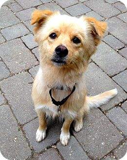 Collie/Golden Retriever Mix Dog for adoption in Hainesville, Illinois - Katye