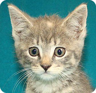 Domestic Mediumhair Kitten for adoption in Jackson, Michigan - Spoof